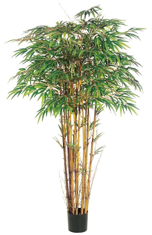 Un magnífico ejemplar de Bambú Japones.
