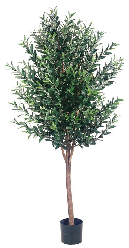 Un ejemplar de olivo de gran tamaño.